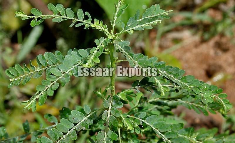 Phyllanthus Amarus