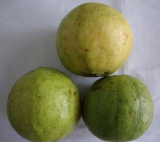 Fresh Allahabad Safeda Guava