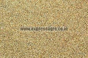 A Grade Millet Seeds