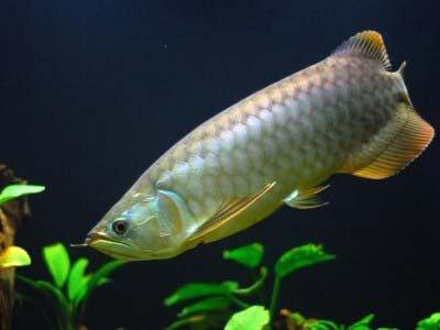 Banjar Red Arowana Fish