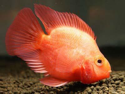 Blood Parrot Cichlid Fish