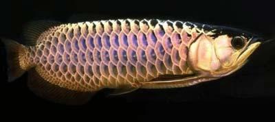 Blue Base Golden Arowana Fish