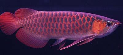 Chili Red Arowana Fish