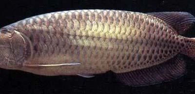 Jardini Arowana Fish