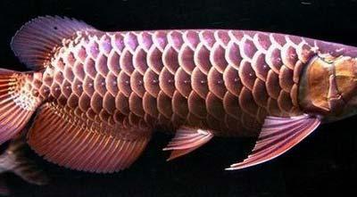 Malaysia Arowana Fish