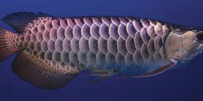 Panda Wild Blue Arowana Fish