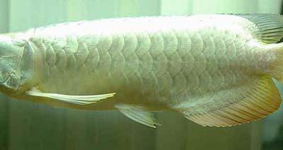 Platinum Arowana Fish