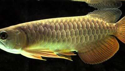 Qian Hu Red Tail Golden Arowana Fish