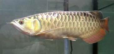 Red Splendour Crossback Arowana Fish