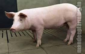 Pet Pigs