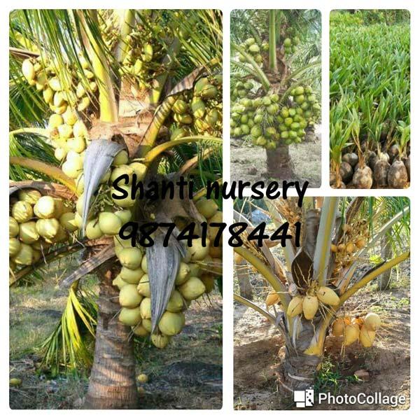 Malaysian Coconut Plant