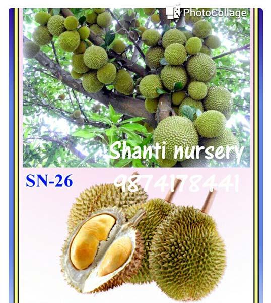 Durian Fruit Plant