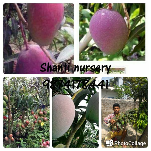 Purple Mango Plant
