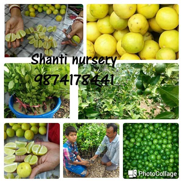 Thai Seedless Kagzi Lemon Plant