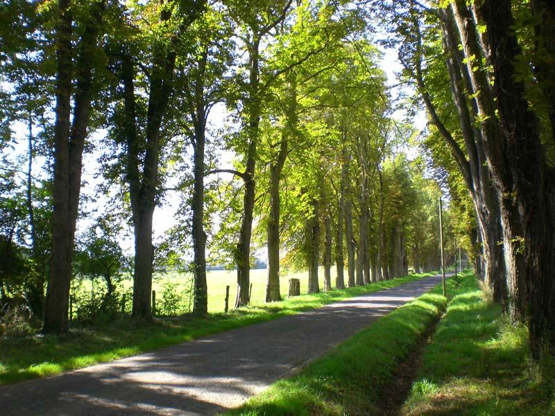 Avenue Tree