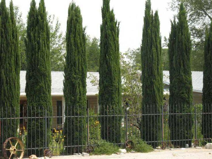 Columnar Evergreen Plants