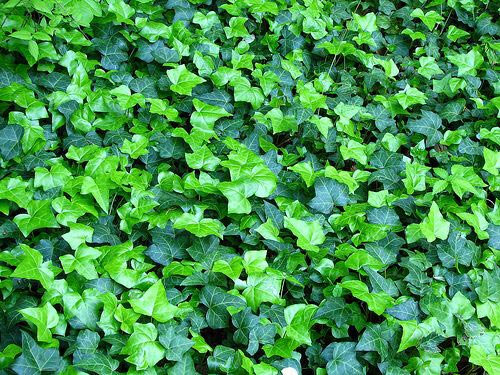 Ground Cover Plant 02