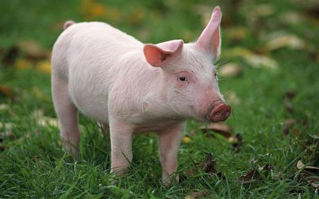 Yorkshire Pig 01
