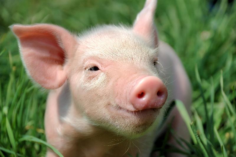Yorkshire Pig 03