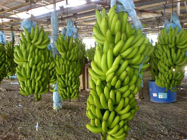 B Grade Fresh Green Cavendish Banana
