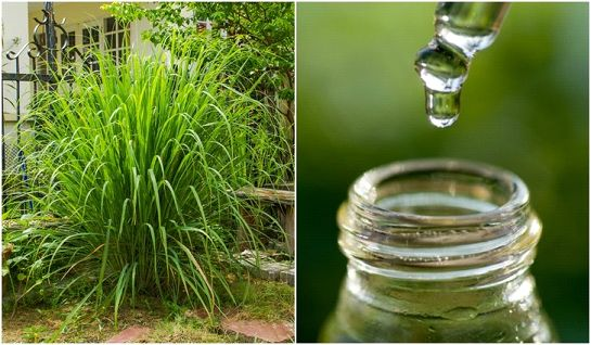 Citronella essential oil