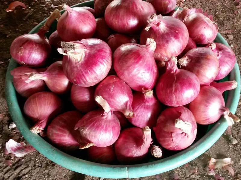 Fresh Red Onion 03