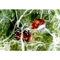 Entomopathogenic Fungicides