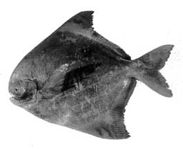 Frozen Chinese Pomfret Fish