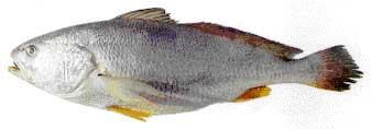 Frozen Silver Croaker Fish