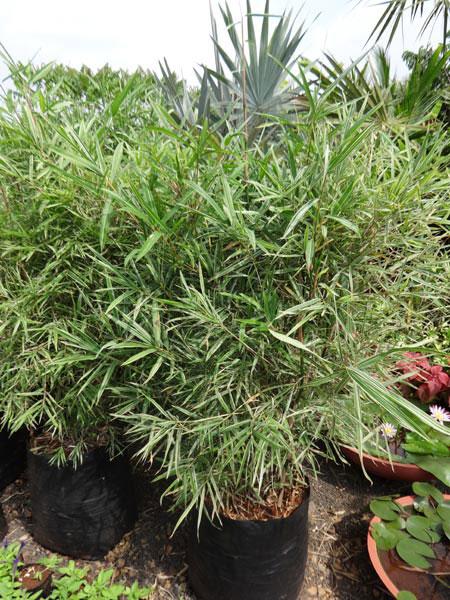Bamboo Variegated