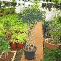 Ficus Arrangement 03