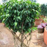 Ficus Arrangement 04
