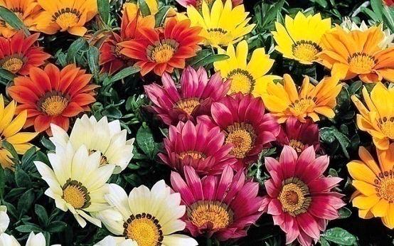 Seasonal Flowering Plants Gazania Plants Marigold Plants Manufacturers