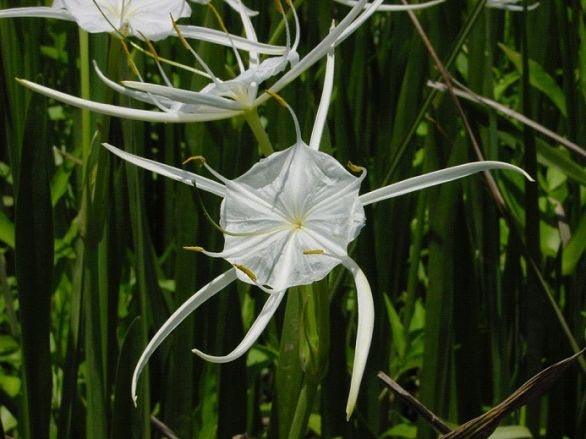 Lily Plants