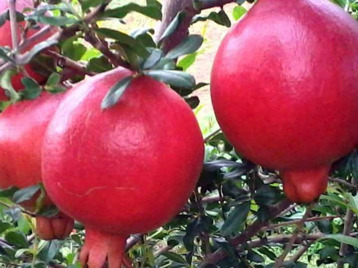 Fresh Pomegranate 06