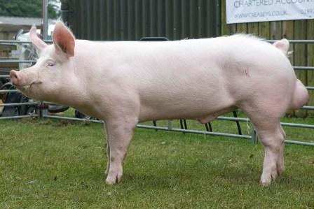 large white male pig manufacturer supplier in moradabad india
