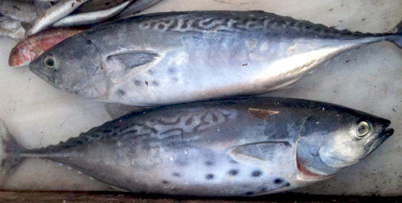 Frozen Bonito Fishes