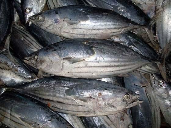 Frozen Skipjack Tuna Fishes