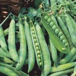 Green Peas Seed 05