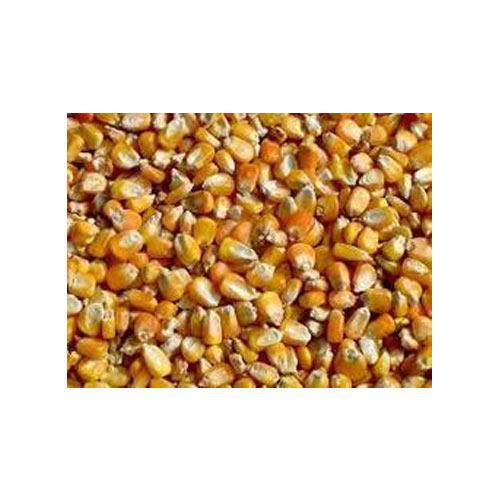 Yellow Corn Seeds 01