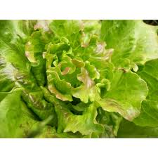 Fresh Summer Crisp Lettuce