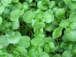 Fresh Watercress