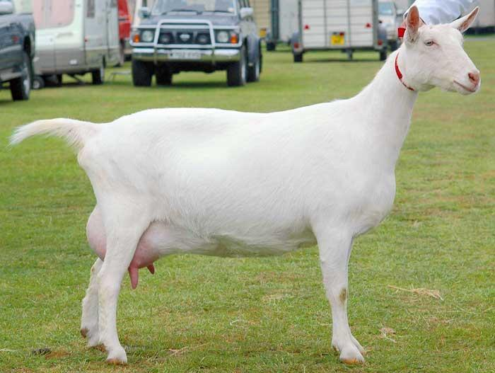 Saanen Breeds of Goat