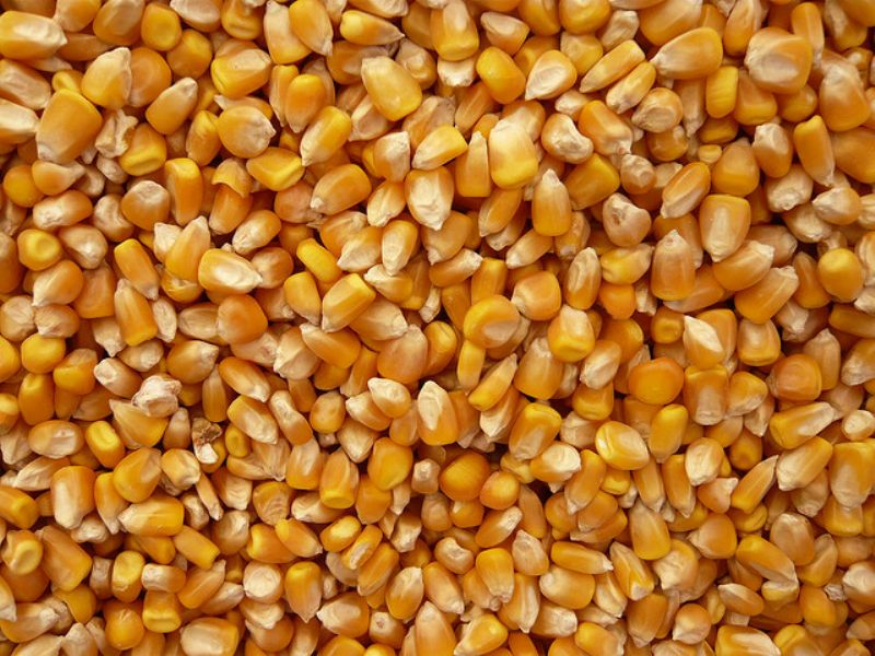 Yellow Maize Seeds 01