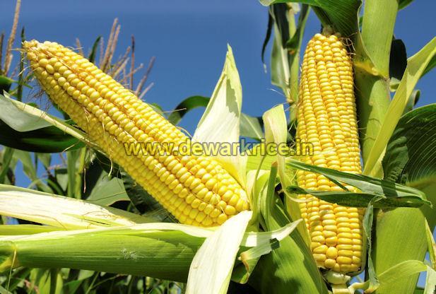 Yellow Maize 01