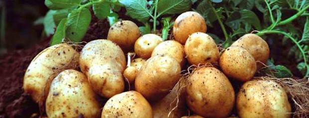 FC Potato
