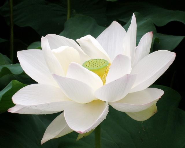 Fresh White Lotus Flowersbeautiful Fresh White Lotus Flowers Suppliers