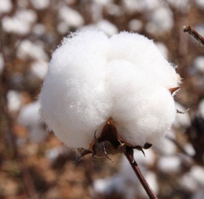 Raw Cotton