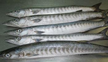 Frozen Barracuda Fish