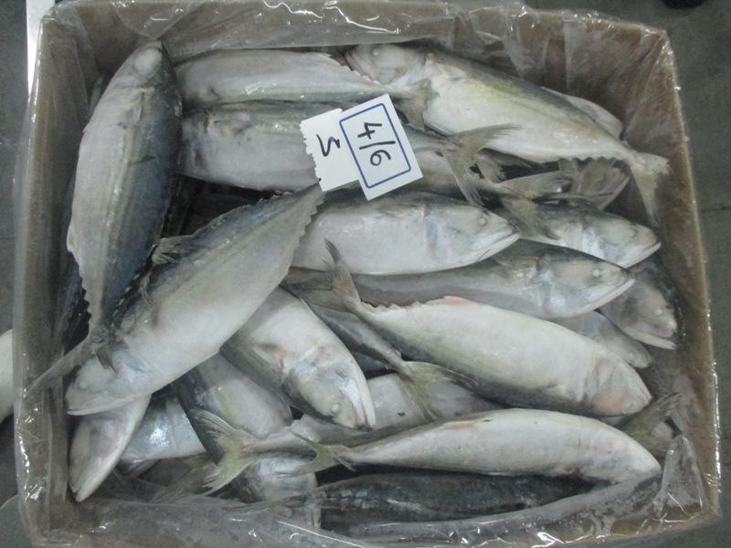Frozen Indian Mackerel Fish